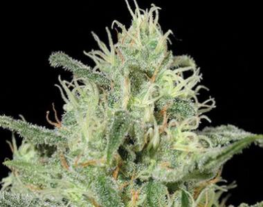 Kera Seeds - Critical Auto cannabis seed