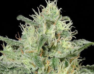 Kera Seeds - Critical cannabis seed