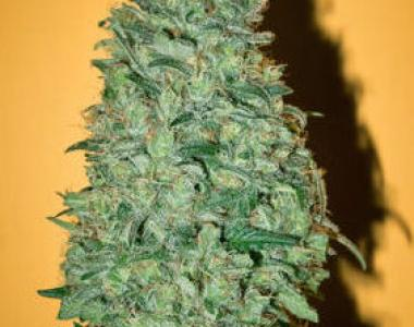 Mandala Seeds - California Dream cannabis seed