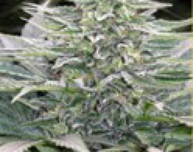 Mandala Seeds - Hashberry cannabis seed