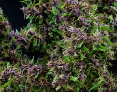Mandala Seeds - Purple Paro Valley cannabis seed