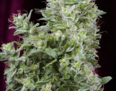 Mandala Seeds - White Magic cannabis seed