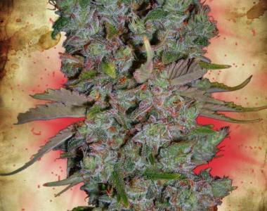 Ministry of Cannabis - Auto Blueberry Domina cannabis seed