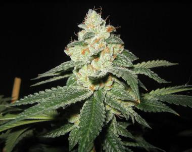 Mr Nice Seeds - Shark Shock cannabis seed