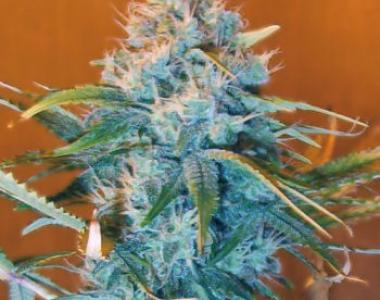 Nirvana Seeds - AK48 cannabis seed