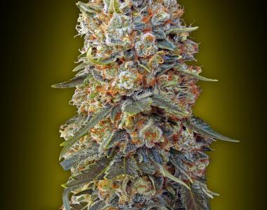 OO Seeds - Sweet Critical cannabis seed