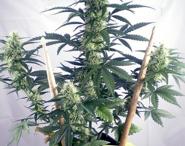 Positronics - May Day Express Auto cannabis seed