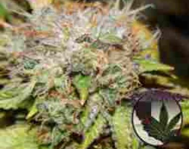 Purple Caper - Wedding Cake cannabis seed