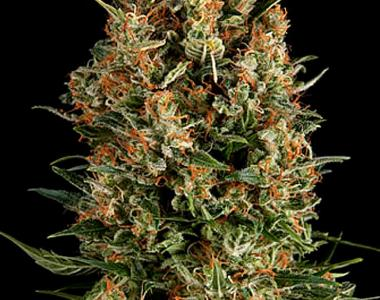 Pyramid Seeds - Wembley Auto cannabis seed