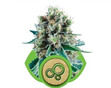 Royal Queen Seeds - Bubble Kush Auto cannabis seed