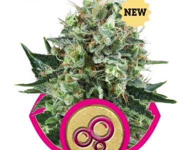 Royal Queen Seeds - Bubble Kush cannabis seed