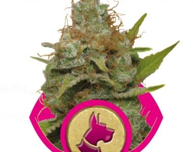 Royal Queen Seeds - Kali Dog cannabis seed