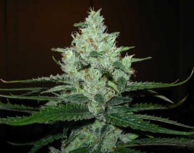 Royal Queen Seeds - Lemon Shining Silver Haze cannabis seed