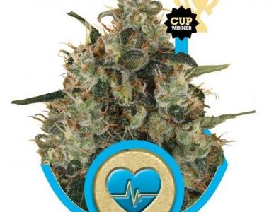 Royal Queen Seeds - Medical Mass cannabis seed