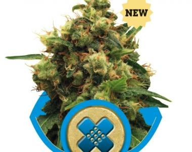 Royal Queen Seeds - Painkiller XL cannabis seed