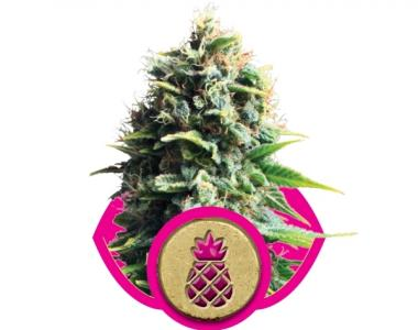 Royal Queen Seeds - Pineapple Kush cannabis seed