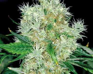 Royal Queen Seeds - Power Flower cannabis seed