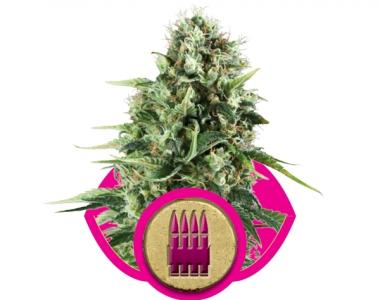 Royal Queen Seeds - Royal AK cannabis seed