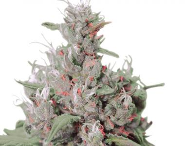 Royal Queen Seeds - Royal Creamatic cannabis seed