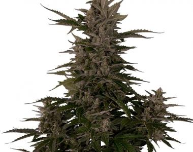 Royal Queen Seeds - Royal Critical Automatic cannabis seed