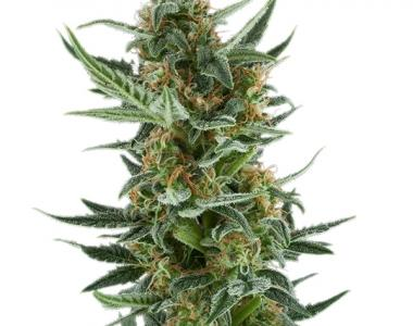 Royal Queen Seeds - Royal Dwarf cannabis seed