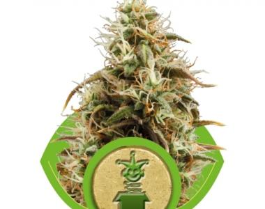 Royal Queen Seeds - Royal Jack Automatic cannabis seed