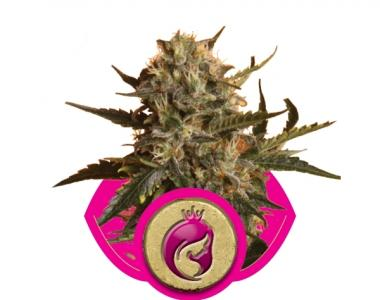 Royal Queen Seeds - Royal Madre cannabis seed