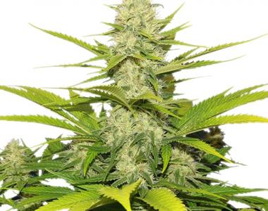 Royal Queen Seeds - Skunk XL cannabis seed