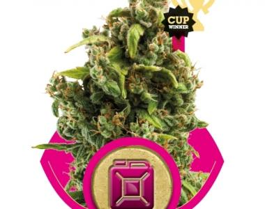 Royal Queen Seeds - Sour Diesel cannabis seed