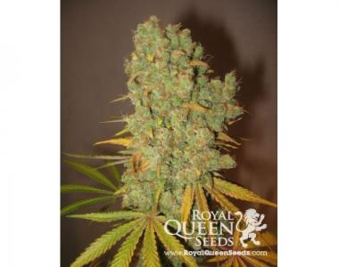 Royal Queen Seeds - Special Kush #1 cannabis seed