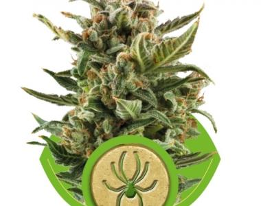 Royal Queen Seeds - White Widow Auto cannabis seed