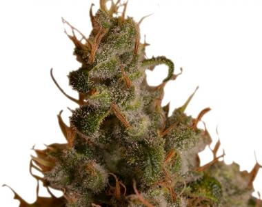 Royal Queen Seeds - White Widow cannabis seed