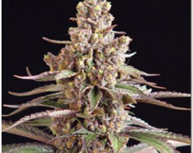 Sagarmatha Seeds - Blueberry Bud cannabis seed