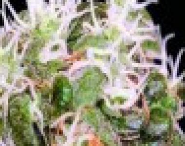 Sagarmatha Seeds - Midnight Blue cannabis seed