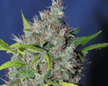Sagarmatha Seeds - Smurfberry Automatic cannabis seed