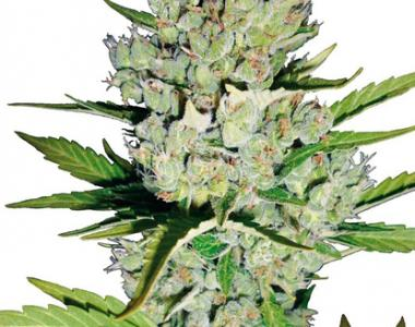 Sagarmatha Seeds - Super Skunk Automatic cannabis seed