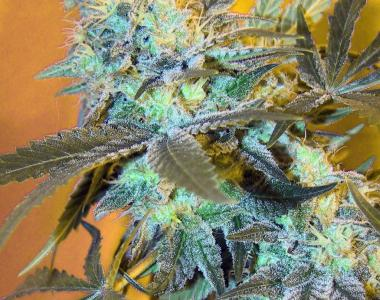 Sagarmatha Seeds - White Widow #2 Auto cannabis seed