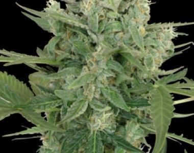 Seedmakers - Low Dwarf Auto cannabis seed