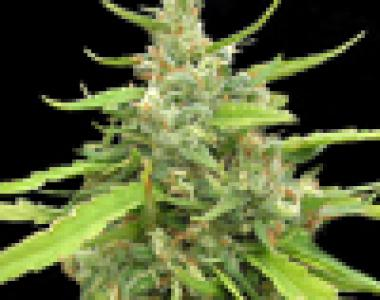 Seedsman - Sugar Haze cannabis seed