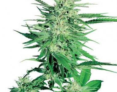 Sensi Seeds - Big Bud cannabis seed