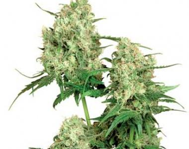 Sensi Seeds - Maple Leaf Indica cannabis seed