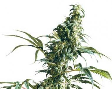 Sensi Seeds - Mexican Sativa cannabis seed