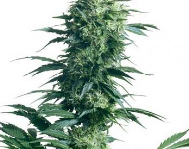 Sensi Seeds - Mothers Finest cannabis seed