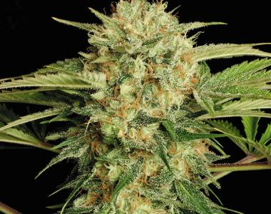 Serious Seeds - Motovation cannabis seed