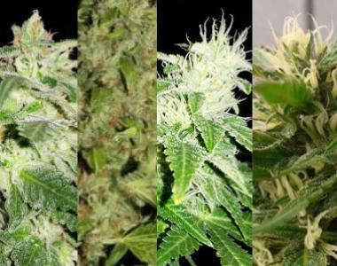 Southern Star Seeds - Hybrid All Stars cannabis seed