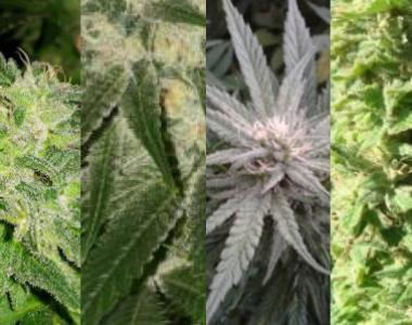 Southern Star Seeds - Indica All Stars cannabis seed