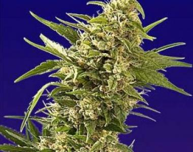 Spliff Seeds - Afghani Gold cannabis seed