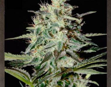 Strain Hunters - White Lemon cannabis seed