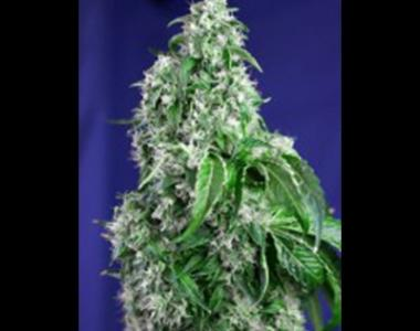 Sweet Seeds - Big Devil Fast V cannabis seed