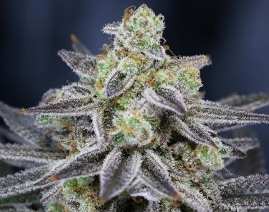 Subcool Seeds - Cherrygasm cannabis seed
